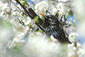 Singing male starling among cherry blossoms — Stock Photo