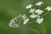 Female orange tip (Anthocharis cardamines) — Stock Photo