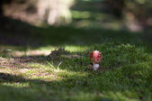 Fly agaric on mossy forest floor — Stock Photo