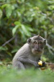 Crab-eating macaque (Macaca fascicularis) — Stock Photo