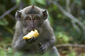 Crab-eating macaque (Macaca fascicularis) eating a banana — Stock Photo