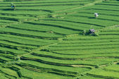 Paddy rice field in Bali, Indonesia — Stock Photo