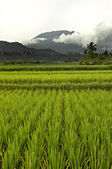 Flat paddy rice field on Bali with mountains and heavy clouds in the background — Stock Photo