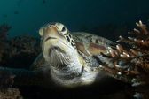 Closeup portrait of a green sea turtle (Chelonia mydas) — Stock Photo