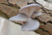 A cluster of Oyster mushroom (Pleurotus ostreatus) on dead willow tree — Stock Photo