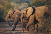 Two young african elephants crossing the road at dusk — Stock Photo