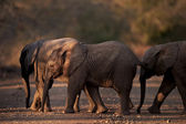 Three small baby african elephants crossing the road at dusk — Stock Photo