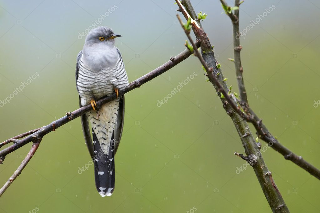Perching common cuckoo (Cuculus canorus) — Stock Photo #11039116