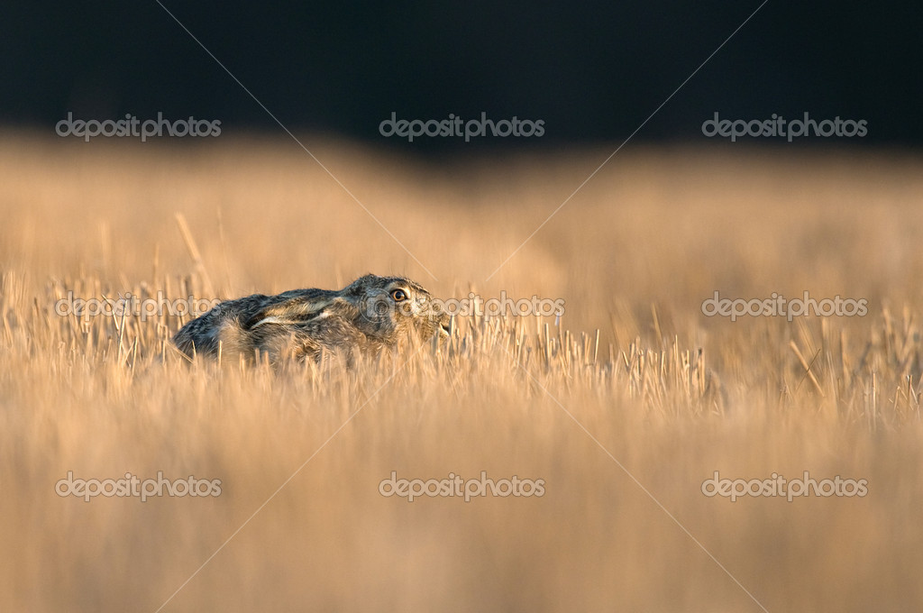 A common Hare hiding in a cut cornfield  Foto Stock #11039164