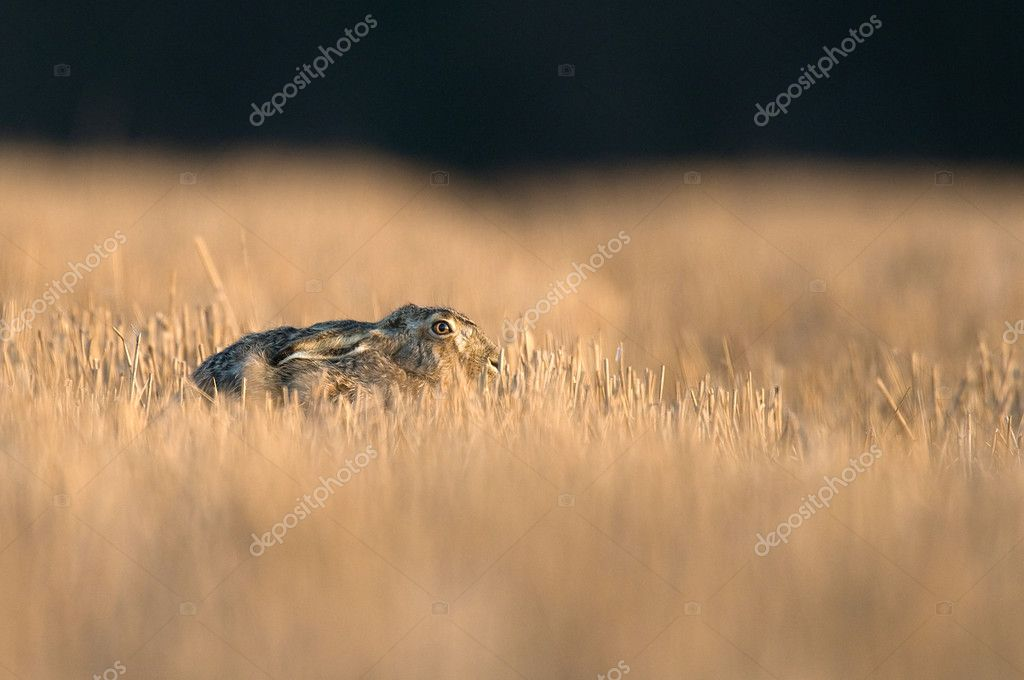 A common Hare hiding in a cut cornfield — Stock fotografie #11039164