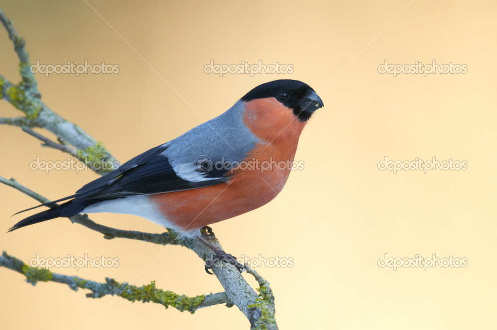 Bullfinch (Pyrrhula pyrrhula)  Stockfoto #11039257