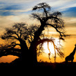 Baobab sunset with giraffe on African savannah - Stock Photo