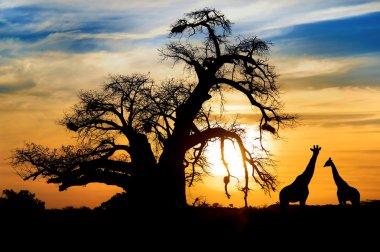 Baobab sunset with giraffe on African savannah