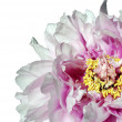Peony Flower — Stock Photo #12171027