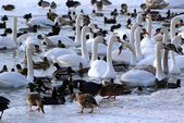 Swans and Ducks in the Winter — Stock Photo