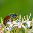 Bug on flower  — Stock Photo