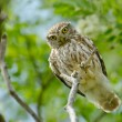 Stock Photo: Little owl in natural habitat (Athene noctua)