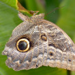 Stock Photo: Owl butterfly entire wing surface resembles owl's face is very clever disguise.