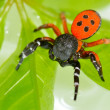 Ladybird spider on flower (eresus cinnaberinus) - Stock Photo