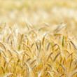 Closeup of golden cereal field in summer — Stock Photo