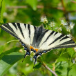 Butterfly in natural habitat (scarce swallowtail)  — Stock Photo