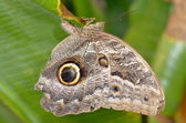 Owl butterfly the entire wing surface resembles the owl's face is a very clever disguise. — Stock Photo
