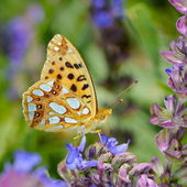 Butterfly in natural habitat (issoria lathonia) — Stockfoto