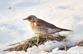 Thrush outdoor in winter (Turdus Obscurus) — Stockfoto