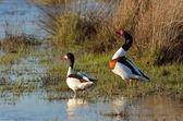 Wild goose on the lake (tadorna tadorna) — Stock Photo