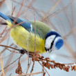 Blue tit on branch in winter (parus caeruleus)  — Stock Photo