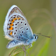 Butterfly in natural habitat (plebejus argus) — Stock Photo
