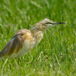 Tawny pipit in natural habitat (anthus campestris) - Stock Photo