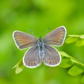 Butterfly in natural habitat (plebejus argus) — Stock Photo