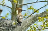Hoopoe bird in natural habitat (upupa epops) — Stock Photo