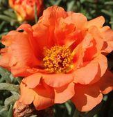 Glory Rose — Stock Photo