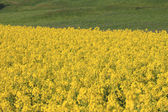Rape field, canola crops — Stock Photo