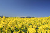 Wind power and Rapeseed — Stock Photo