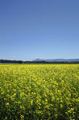 Mt. Himekami and Rape field, canola crops on blue sky — Stock Photo