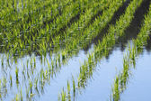 Green field, Asia paddy field — Stock Photo