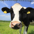 Cow and  blue  sky   in field — Stock Photo
