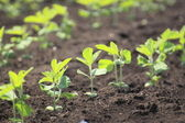 Soybean plant in summer — Stock Photo