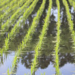 Green field, Asia paddy field — Stock Photo #11050009
