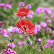 Stock Photo: Red corn poppy
