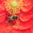 Stock Photo: Red corn poppy and bee