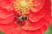 Red corn poppy and a bee — Stock Photo