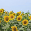 Sunflowers in the field — Stock fotografie