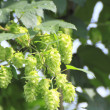 Green hops in  summer — Stock Photo