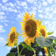 Blue sky and  sunflowers in the field - Stock Photo