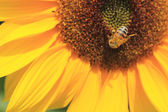 Sunflower and a bee — Stock Photo