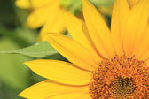 Close up sunflowers in the field — Stock Photo